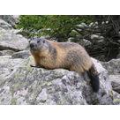 A la rencontre des marmottes de Bisanne