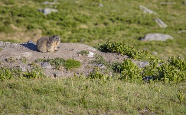 Marmottes - C.Cattin OT Val Thorens - 004